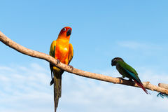 Papegoja på en sittpinne på trä Royaltyfri Bild