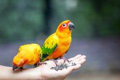 Papegoja på kvinnahanden Royaltyfria Foton