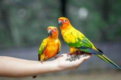 Papegoja på kvinnahanden Arkivfoton