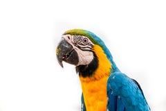 Papegoja på vit bakgrund Arkivbilder