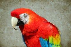 Papegoja - röd ara royaltyfria bilder