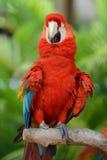 Papegoja - röd blå Macaw Arkivbilder