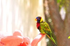 Papegoja regnbågeLorikeet fågel i Florida Arkivbild