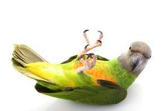 papegoja senegal arkivfoton