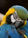 papegoja singapore Arkivbild