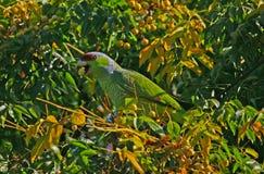 Papegoja som äter Bean Pods Royaltyfri Foto