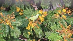 Papegoja som äter blomman arkivfilmer