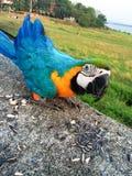 Papegoja som äter sädesslag Arkivbild