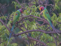 Papegoja som har en allvarlig diskussion Arkivbild