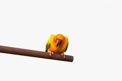 Papegoja som isoleras på bakgrund Arkivfoton