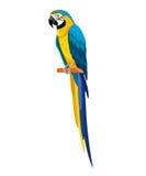 Papegoja som isoleras på vit bakgrund också vektor för coreldrawillustration Vektor Illustrationer