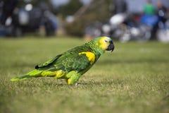 Papegoja som strosar på gräsfält royaltyfria foton
