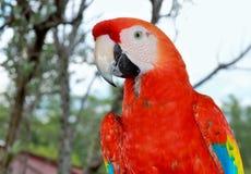Papegoja som väntar för att tala Arkivbild