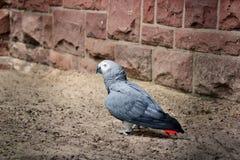 Papegojaafrikan Royaltyfri Bild