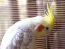 Papegojacockatiel Fotografering för Bildbyråer