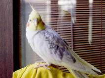 Papegojacockatiel Arkivbild