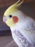Papegojacockatielportret Arkivfoto