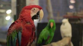 papegojafågel arkivfilmer