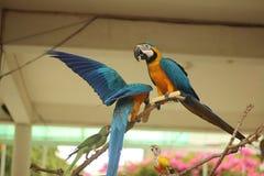 Papegojaförälskelse Arkivbild