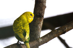 Papegojaguling Royaltyfria Foton