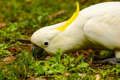 Papegojakakadua Arkivfoto