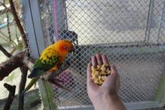 Papegojan äter från handen Arkivbild