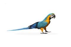 Papegojan Royaltyfria Bilder