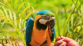 Papegojan för matningar för Closeupmanhanden i KL-fågel parkerar arkivfilmer