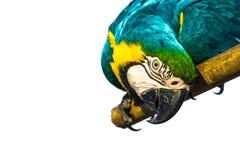 Papegojan på den vita svartjordningen Arkivfoton