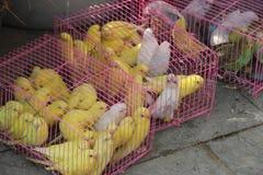 Papegojan som såldes Royaltyfria Foton