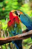 Papegojapar (psittacines) Royaltyfri Foto