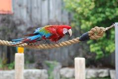papegojarep Royaltyfri Bild