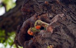 Papegojaungar Royaltyfria Bilder