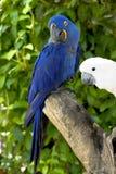 papegojor Arkivbild
