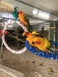 3 papegojor arkivbilder