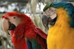 papegojor Royaltyfria Bilder