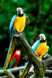 Papegojor Arkivbilder