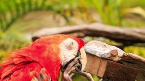 Papegojor för matningar för Closeupmanhand parkerar blåa röda i KL-fågel arkivfilmer