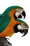 papegojor för 1 macaw Arkivfoto