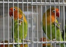 Papegojor i bur Arkivbilder