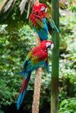 Papegojor i deras naturliga livsmiljö, djungeln royaltyfri fotografi