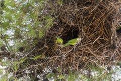 Papegojor i dess rede Arkivbild
