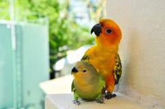 Papegojor på Maldiverna 16 royaltyfria foton