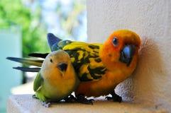 Papegojor på Maldiverna 10 Arkivfoto