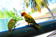 Papegojor på Maldiverna 12 Arkivbilder