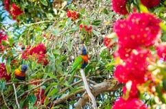 Papegojor på trädet i Australien Royaltyfria Foton