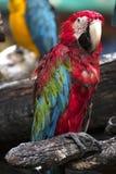 Papegojor: scharlakansröd ara arkivbild