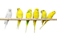 Papegojor sitter på en träpinne Arkivbild