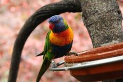 Papegojor som äter på en filial Fotografering för Bildbyråer
