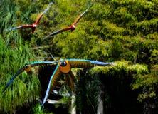 Papegojor som flyger på kameran Fotografering för Bildbyråer